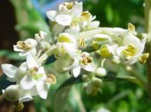 Flori de maslin